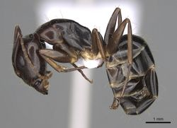 Camponotus jaliensis casent0906064 p 1 high.jpg