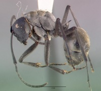 Polyrhachis relucens breviorspinosa castype06932 profile 1.jpg