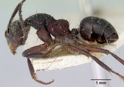 Camponotus whitei casent0172140 profile 1.jpg