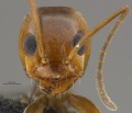 Mcz-ent00668427 Dorymyrmex sp lightcolor hef.jpg