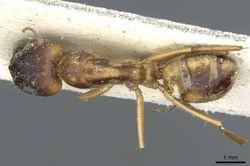 Camponotus abjectus casent0911883 d 1 high.jpg