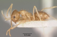 Paratrechina madagascarensis rufescens casent0101833 profile 1.jpg