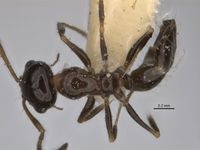 Melophorus macrops minor top ANIC32-900105.jpg
