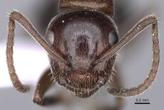 Camponotus honaziensis casent0914263 h 1 high.jpg