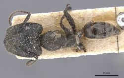 Camponotus barbarossa sulcatinasis casent0911748 d 1 high.jpg