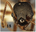 Fig. 18 Chen et al. 2016 Myrmica huaii head in full face view.png