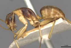 Camponotus discors casent0910291 p 1 high.jpg