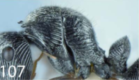 Polyrhachis snellingi P.png