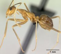 Anoplolepis