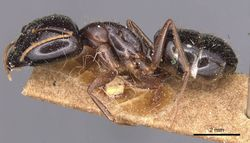 Camponotus natalensis fulvipes casent0905229 p 1 high.jpg
