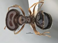 Melophorus diversus major top ANIC32-900062.jpg