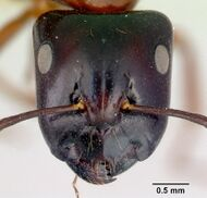 Camponotus armstrongi casent0172150 head 1.jpg